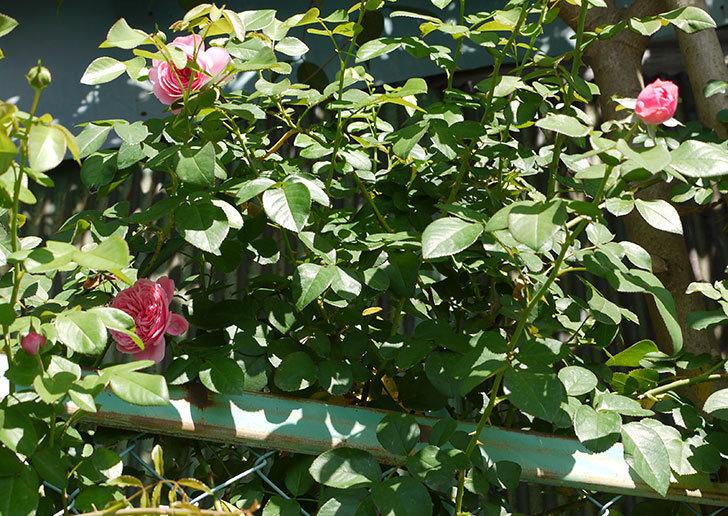 レオナルド・ダ・ヴィンチ(ツルバラ)の花が咲いた。2016年-7.jpg