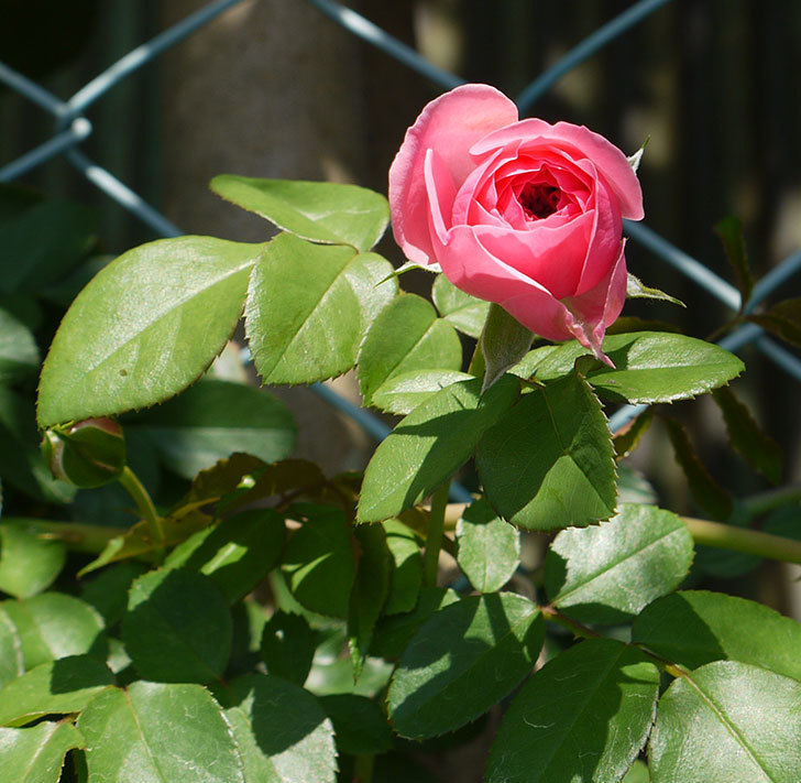 レオナルド・ダ・ヴィンチ(ツルバラ)の花が咲いた。2016年-8.jpg