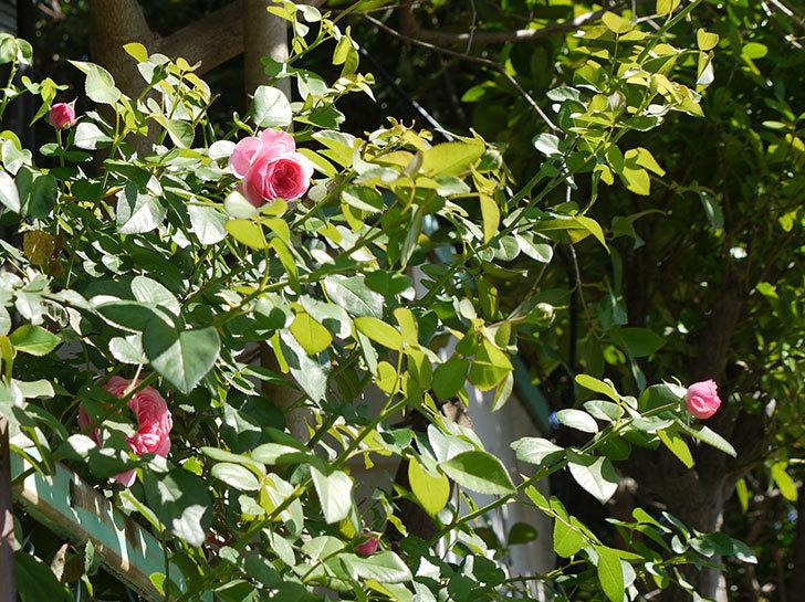 レオナルド・ダ・ヴィンチ(ツルバラ)の花が咲いた。2016年-9.jpg