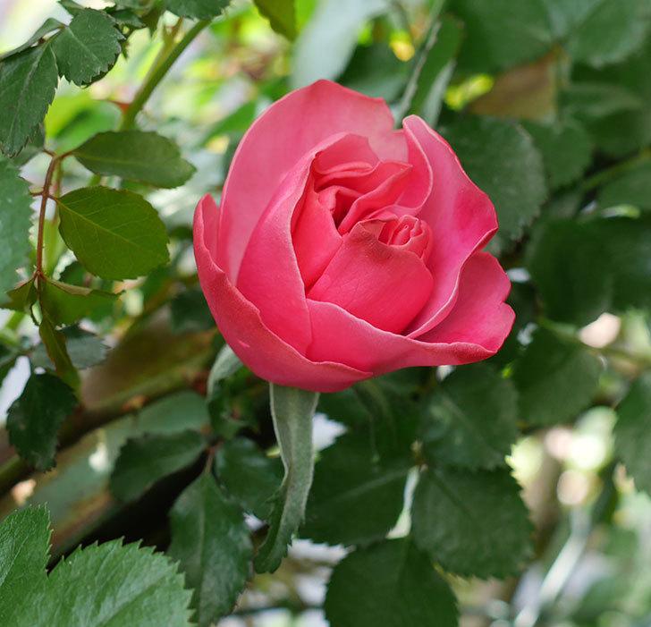 レオナルド・ダ・ヴィンチ(ツルバラ)の花が咲いた。2018年-1.jpg