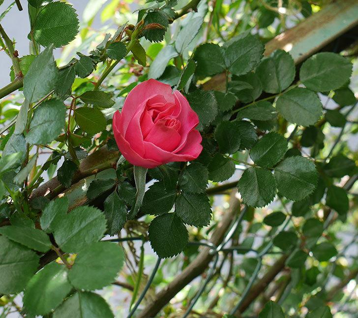 レオナルド・ダ・ヴィンチ(ツルバラ)の花が咲いた。2018年-2.jpg