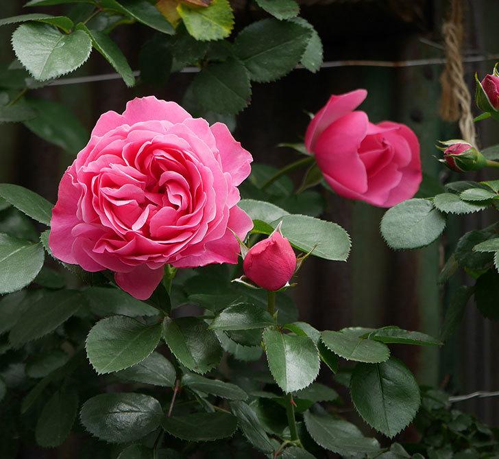 レオナルド・ダ・ヴィンチ(ツルバラ)の花が咲いた。2019年-1.jpg