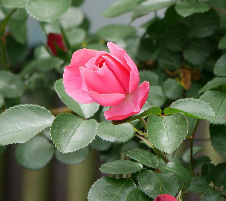 レオナルド・ダ・ヴィンチ(ツルバラ)の花が咲いた。2019年-10.jpg