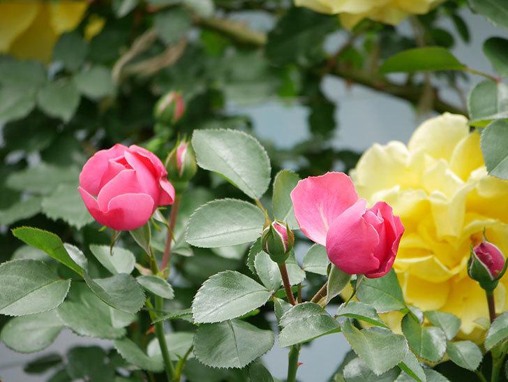 レオナルド・ダ・ヴィンチ(ツルバラ)の花が咲いた。2019年-11.jpg