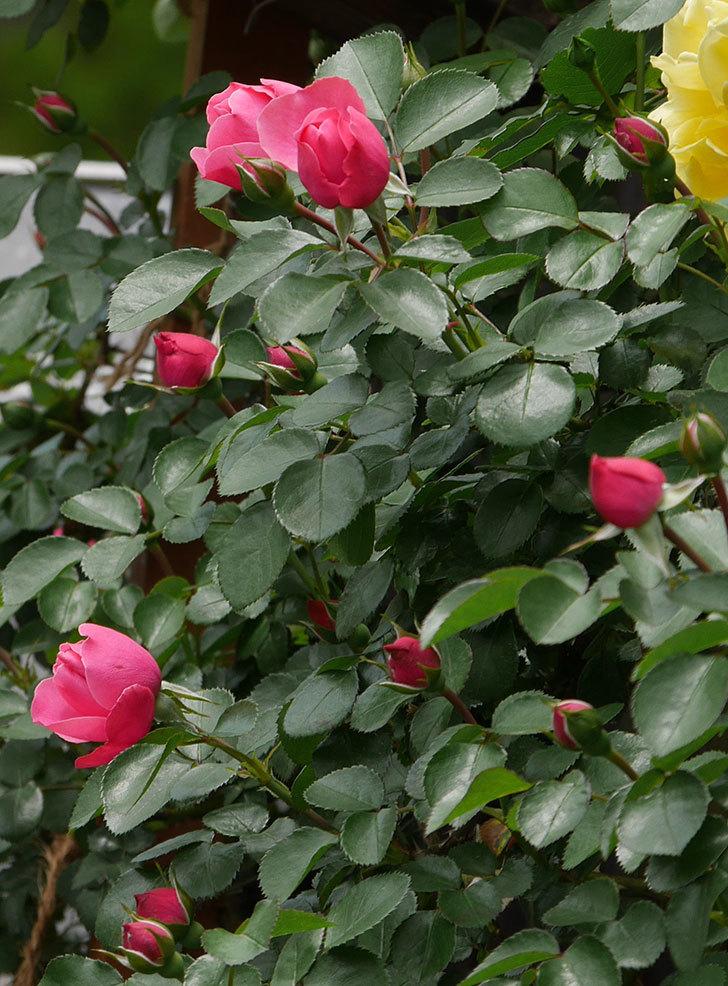 レオナルド・ダ・ヴィンチ(ツルバラ)の花が咲いた。2019年-12.jpg
