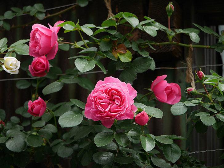 レオナルド・ダ・ヴィンチ(ツルバラ)の花が咲いた。2019年-2.jpg