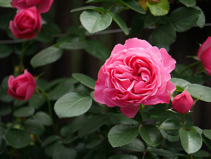 レオナルド・ダ・ヴィンチ(ツルバラ)の花が咲いた。2019年-4.jpg