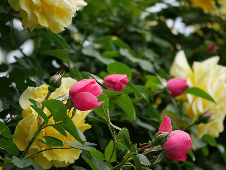 レオナルド・ダ・ヴィンチ(ツルバラ)の花が咲いた。2019年-5.jpg