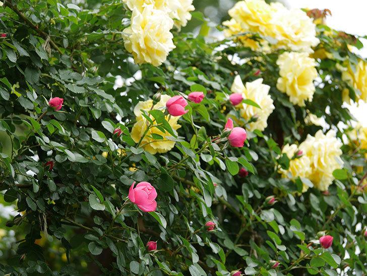 レオナルド・ダ・ヴィンチ(ツルバラ)の花が咲いた。2019年-6.jpg