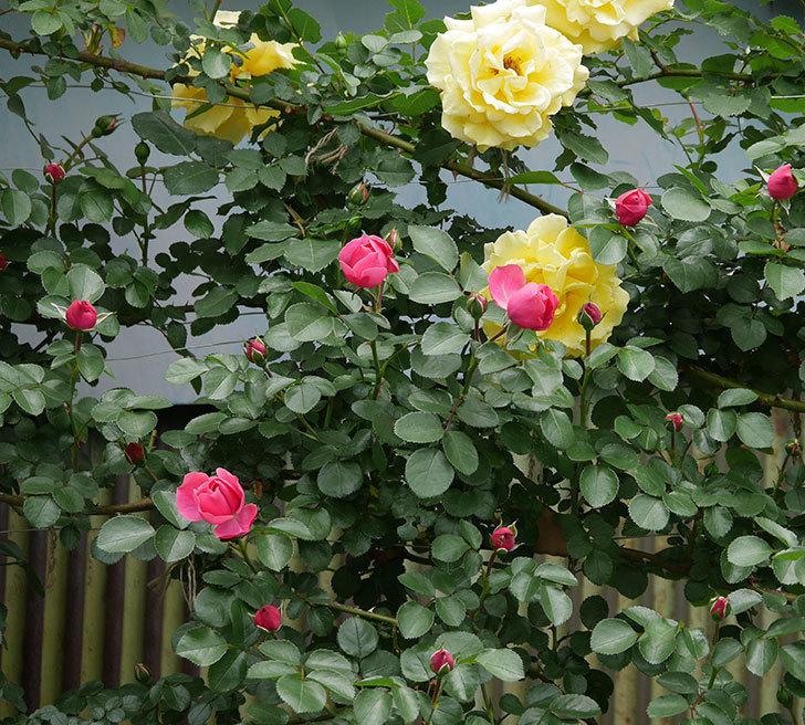 レオナルド・ダ・ヴィンチ(ツルバラ)の花が咲いた。2019年-7.jpg