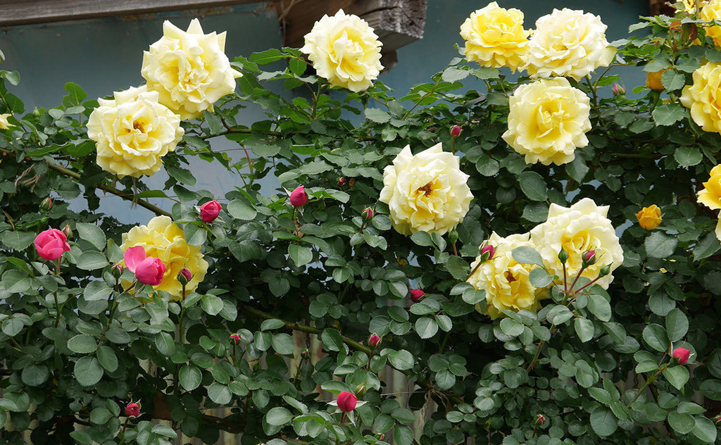 レオナルド・ダ・ヴィンチ(ツルバラ)の花が咲いた。2019年-8.jpg
