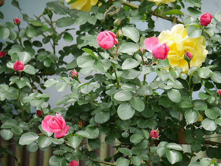 レオナルド・ダ・ヴィンチ(ツルバラ)の花が咲いた。2019年-9.jpg