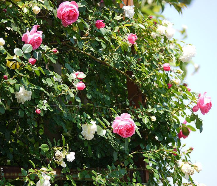 レオナルド・ダ・ヴィンチ(ツルバラ)の花が増えてきた。2017年-1.jpg