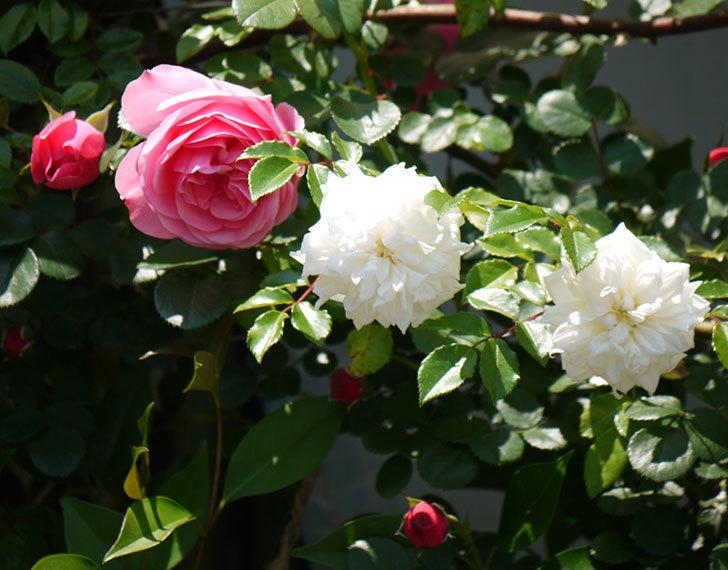 レオナルド・ダ・ヴィンチ(ツルバラ)の花が増えてきた。2017年-10.jpg