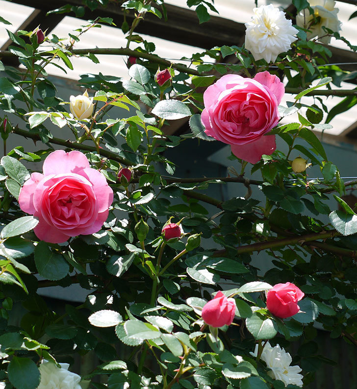 レオナルド・ダ・ヴィンチ(ツルバラ)の花が増えてきた。2017年-12.jpg
