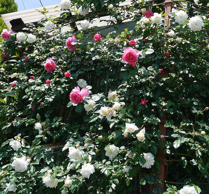 レオナルド・ダ・ヴィンチ(ツルバラ)の花が増えてきた。2017年-14.jpg