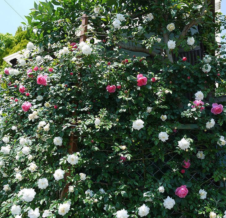 レオナルド・ダ・ヴィンチ(ツルバラ)の花が増えてきた。2017年-15.jpg