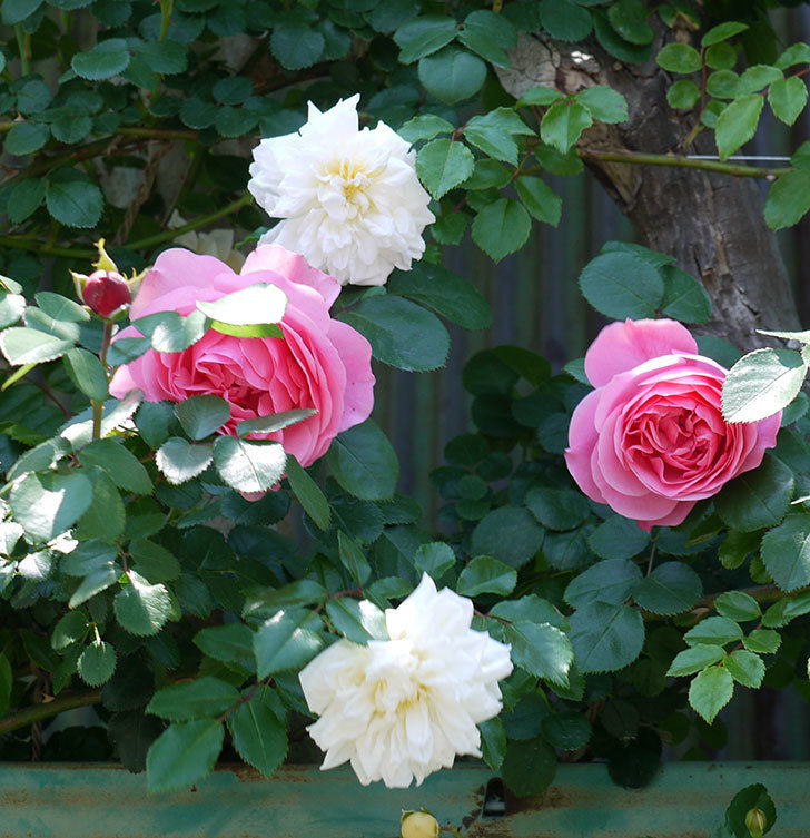 レオナルド・ダ・ヴィンチ(ツルバラ)の花が増えてきた。2017年-16.jpg