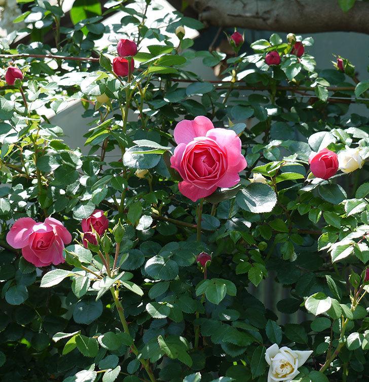 レオナルド・ダ・ヴィンチ(ツルバラ)の花が増えてきた。2017年-17.jpg