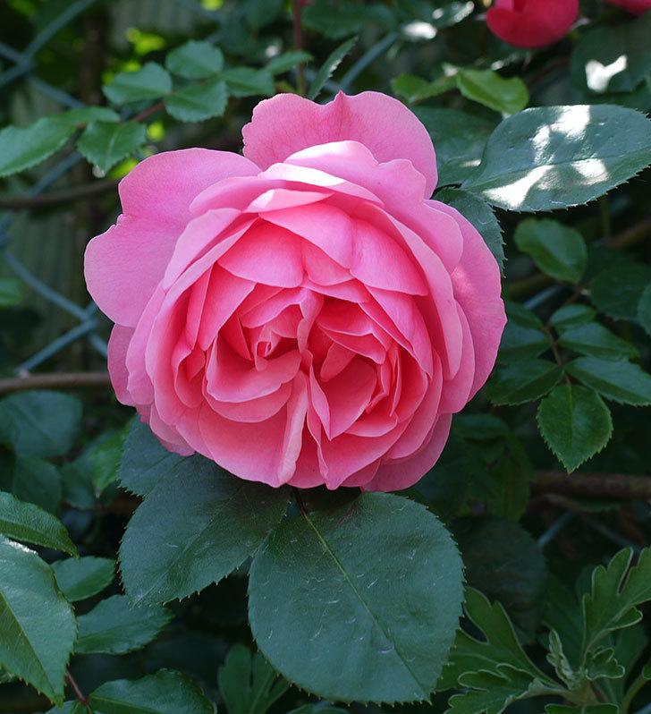 レオナルド・ダ・ヴィンチ(ツルバラ)の花が増えてきた。2017年-18.jpg