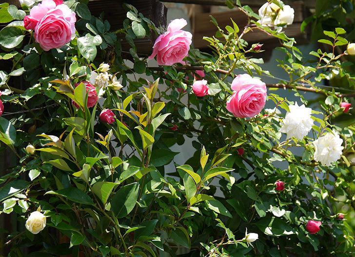 レオナルド・ダ・ヴィンチ(ツルバラ)の花が増えてきた。2017年-2.jpg