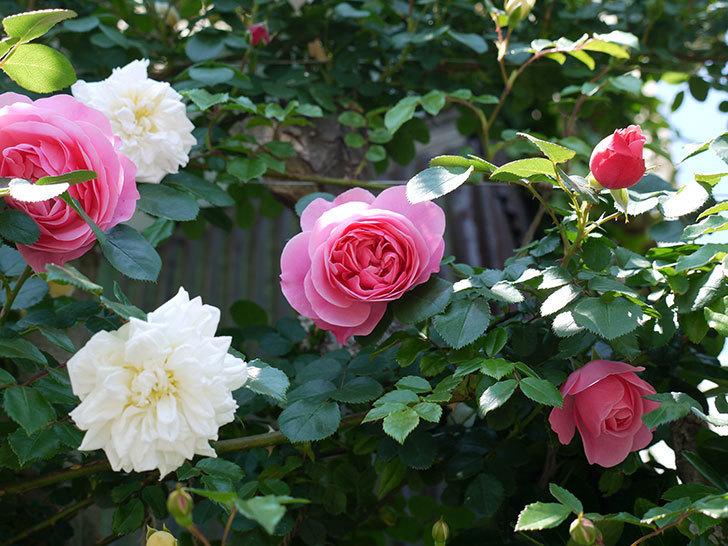 レオナルド・ダ・ヴィンチ(ツルバラ)の花が増えてきた。2017年-20.jpg