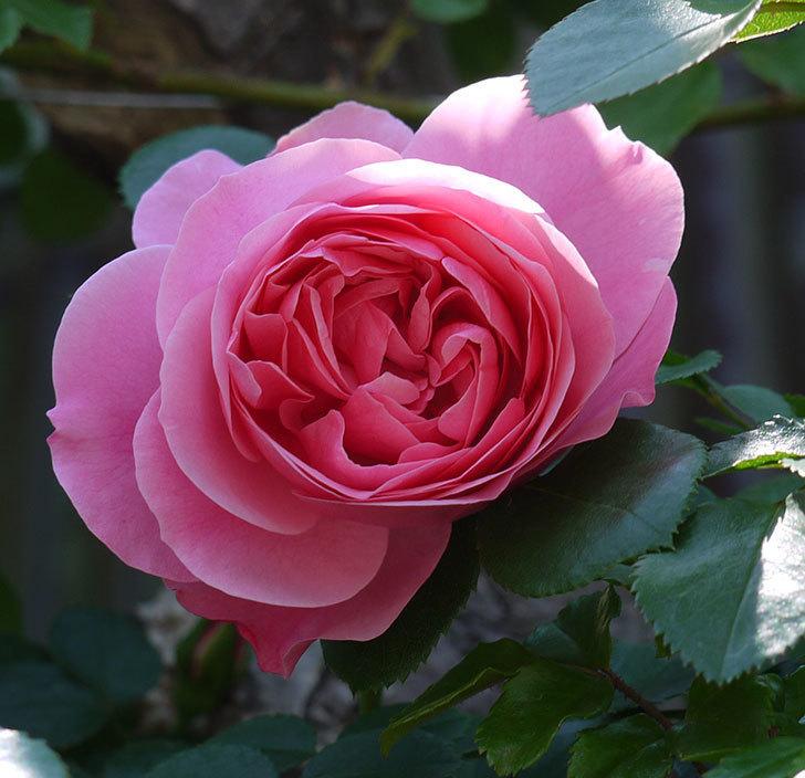 レオナルド・ダ・ヴィンチ(ツルバラ)の花が増えてきた。2017年-21.jpg