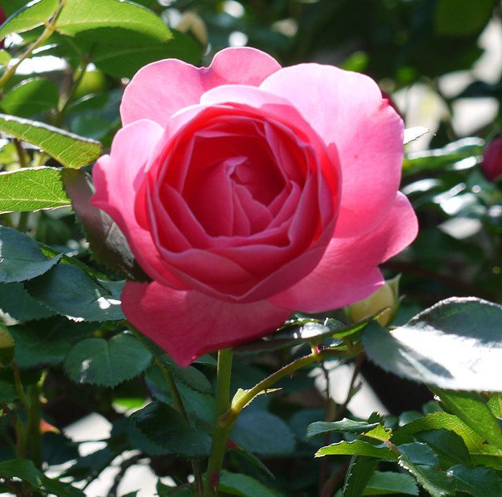 レオナルド・ダ・ヴィンチ(ツルバラ)の花が増えてきた。2017年-22.jpg