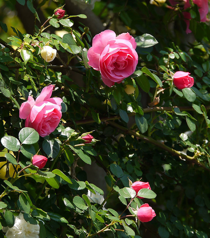 レオナルド・ダ・ヴィンチ(ツルバラ)の花が増えてきた。2017年-3.jpg