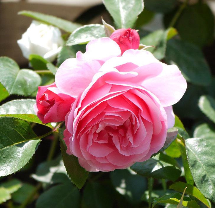 レオナルド・ダ・ヴィンチ(ツルバラ)の花が増えてきた。2017年-4.jpg