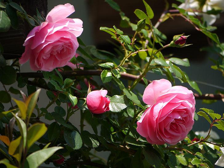 レオナルド・ダ・ヴィンチ(ツルバラ)の花が増えてきた。2017年-5.jpg