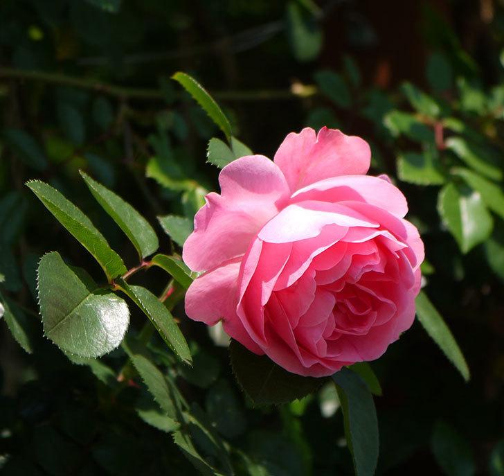 レオナルド・ダ・ヴィンチ(ツルバラ)の花が増えてきた。2017年-6.jpg