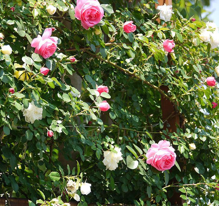 レオナルド・ダ・ヴィンチ(ツルバラ)の花が増えてきた。2017年-7.jpg