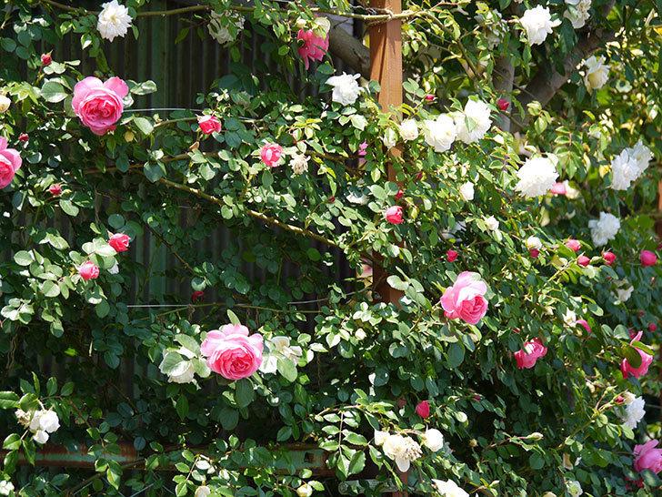 レオナルド・ダ・ヴィンチ(ツルバラ)の花が増えてきた。2017年-8.jpg
