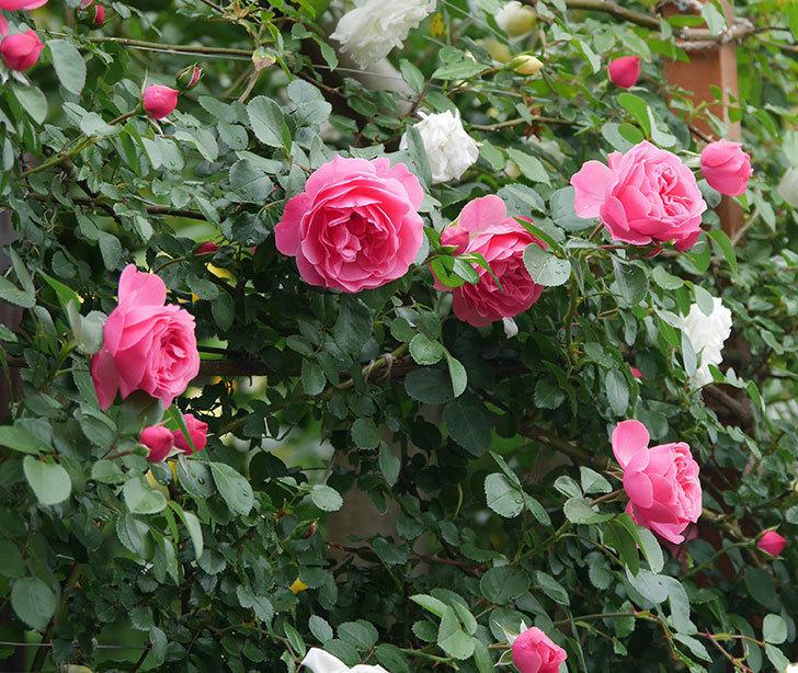 レオナルド・ダ・ヴィンチ(ツルバラ)の花が増えて来た。2018年-1.jpg