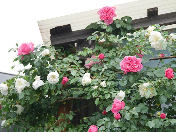 レオナルド・ダ・ヴィンチ(ツルバラ)の花が増えて来た。2018年-10.jpg
