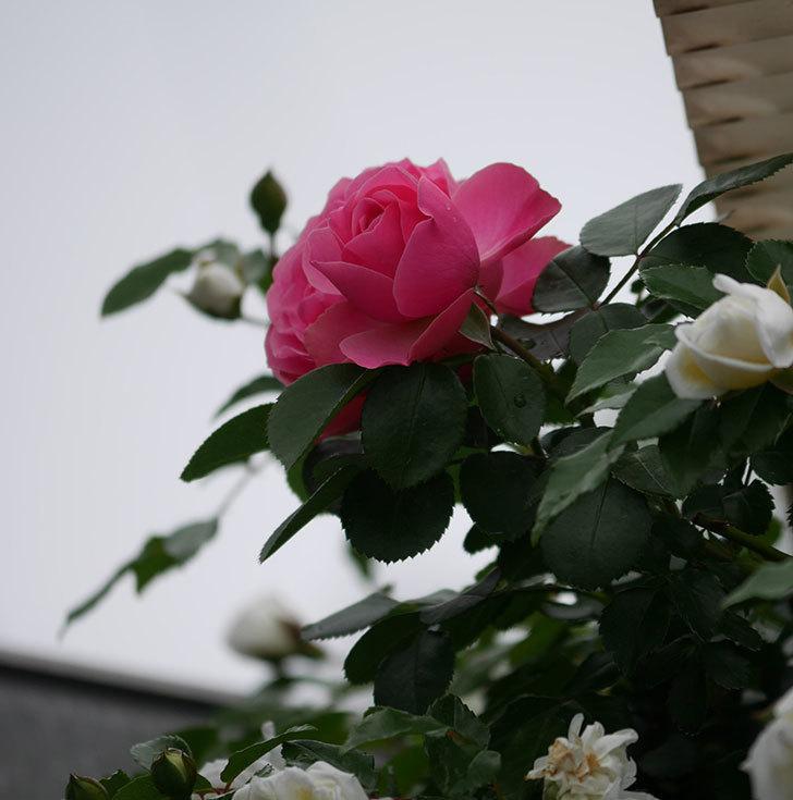 レオナルド・ダ・ヴィンチ(ツルバラ)の花が増えて来た。2018年-11.jpg