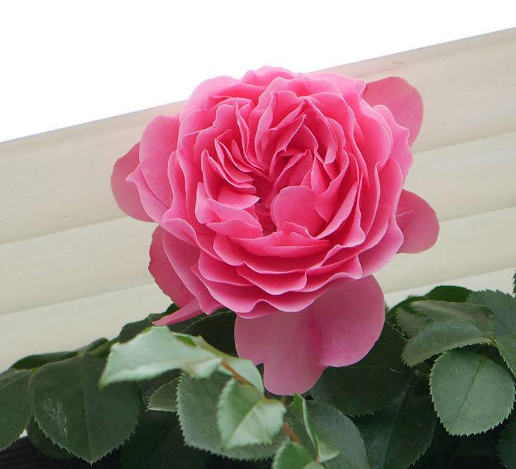 レオナルド・ダ・ヴィンチ(ツルバラ)の花が増えて来た。2018年-12.jpg