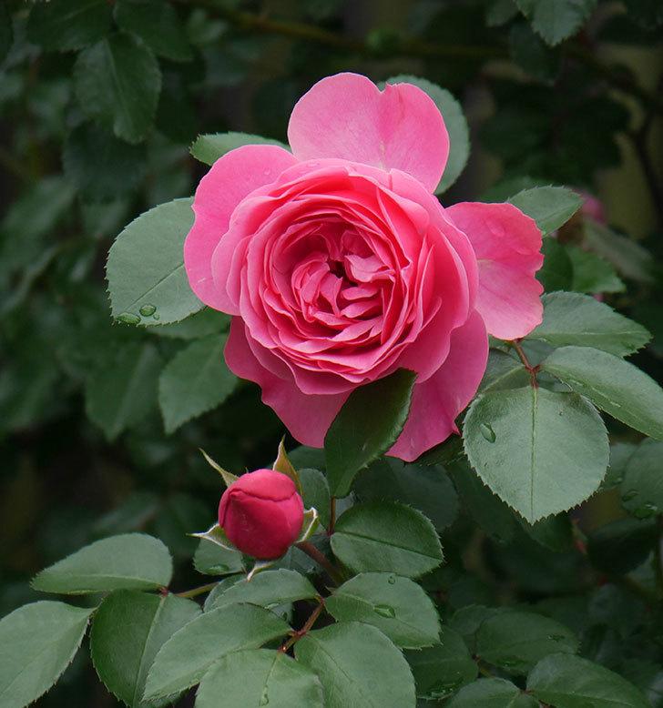 レオナルド・ダ・ヴィンチ(ツルバラ)の花が増えて来た。2018年-13.jpg