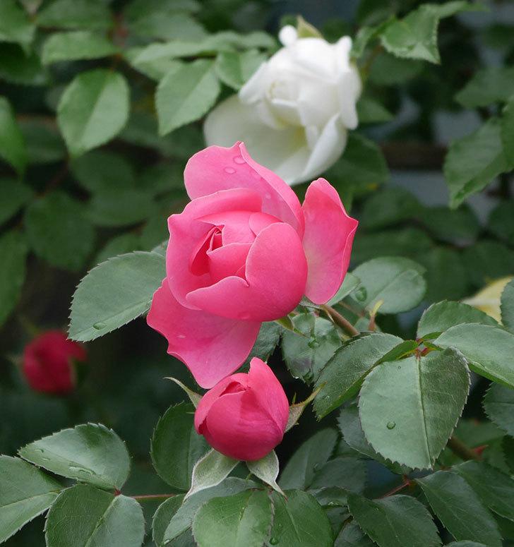 レオナルド・ダ・ヴィンチ(ツルバラ)の花が増えて来た。2018年-14.jpg