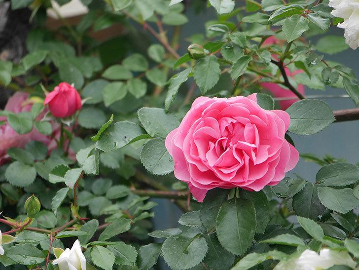 レオナルド・ダ・ヴィンチ(ツルバラ)の花が増えて来た。2018年-15.jpg