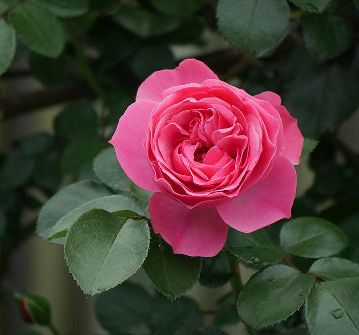 レオナルド・ダ・ヴィンチ(ツルバラ)の花が増えて来た。2018年-16.jpg
