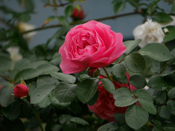 レオナルド・ダ・ヴィンチ(ツルバラ)の花が増えて来た。2018年-17.jpg