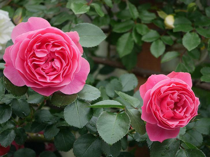 レオナルド・ダ・ヴィンチ(ツルバラ)の花が増えて来た。2018年-18.jpg