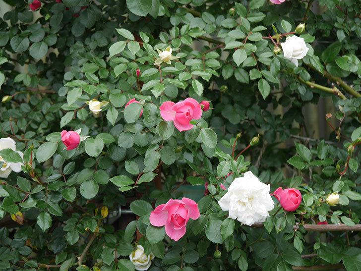 レオナルド・ダ・ヴィンチ(ツルバラ)の花が増えて来た。2018年-19.jpg
