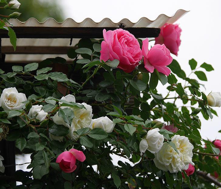レオナルド・ダ・ヴィンチ(ツルバラ)の花が増えて来た。2018年-2.jpg
