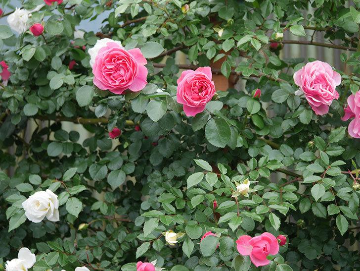 レオナルド・ダ・ヴィンチ(ツルバラ)の花が増えて来た。2018年-20.jpg