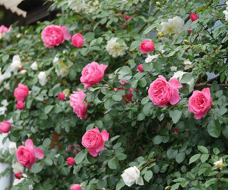 レオナルド・ダ・ヴィンチ(ツルバラ)の花が増えて来た。2018年-21.jpg