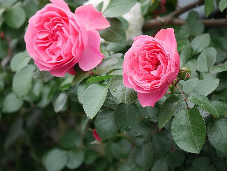 レオナルド・ダ・ヴィンチ(ツルバラ)の花が増えて来た。2018年-22.jpg