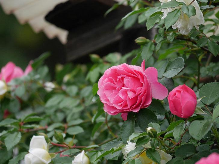 レオナルド・ダ・ヴィンチ(ツルバラ)の花が増えて来た。2018年-23.jpg